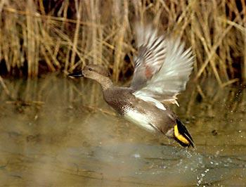 Осенью за утками: утка: Статьи об охоте и рыбалке