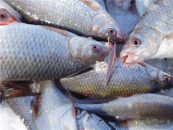 русская рыбалка угорь прикормка